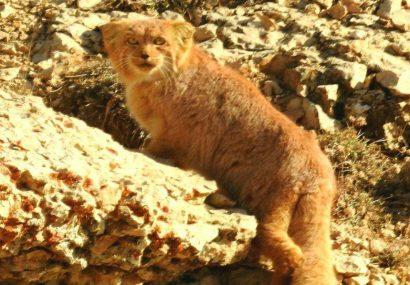 گربه پالاس یکی از زیبا ترین گونه های گربه سان در حیات وحش ایران