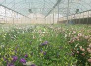 از تولید سالانه ۴۰۰ هزار دسته گل تا صادرات به کشورهای همسایه